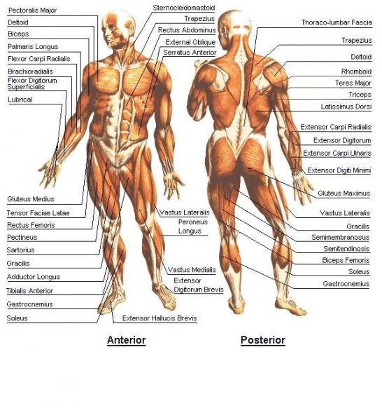 Muscular System The Quantum Physicists